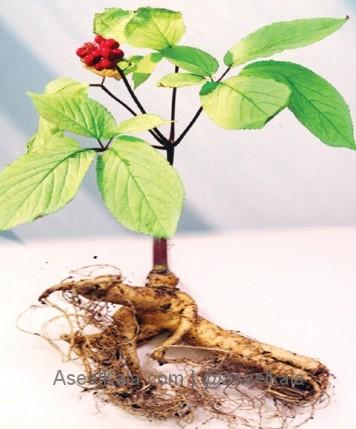 ریشه جینسینگ